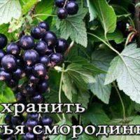 Хранение листьев смородины для чая и не только