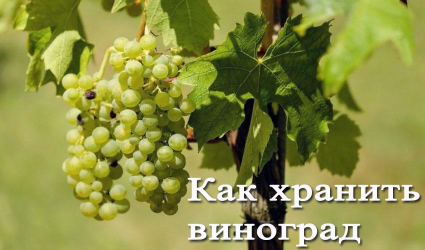 Как сохранить виноград свежим до нового года