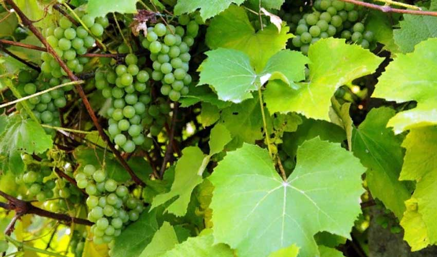 виноградный лист