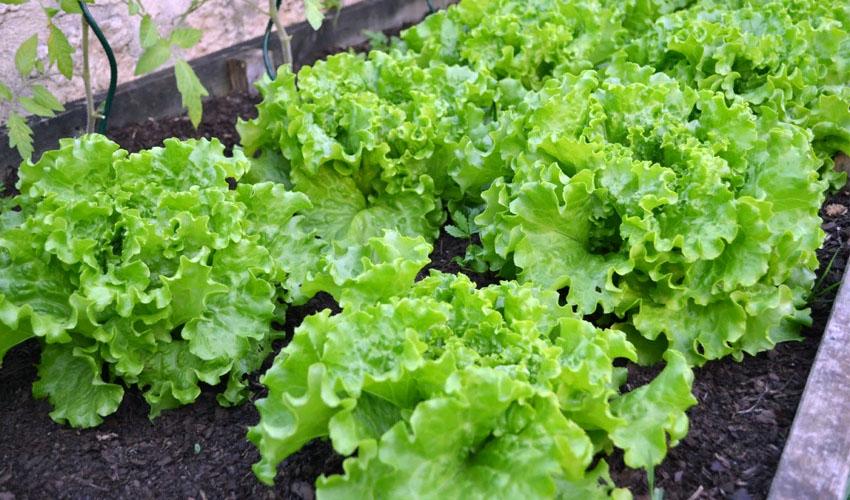 Как хранить листовой салат в холодильнике