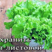 Хранение листового салата в холодильнике и морозилке на зиму