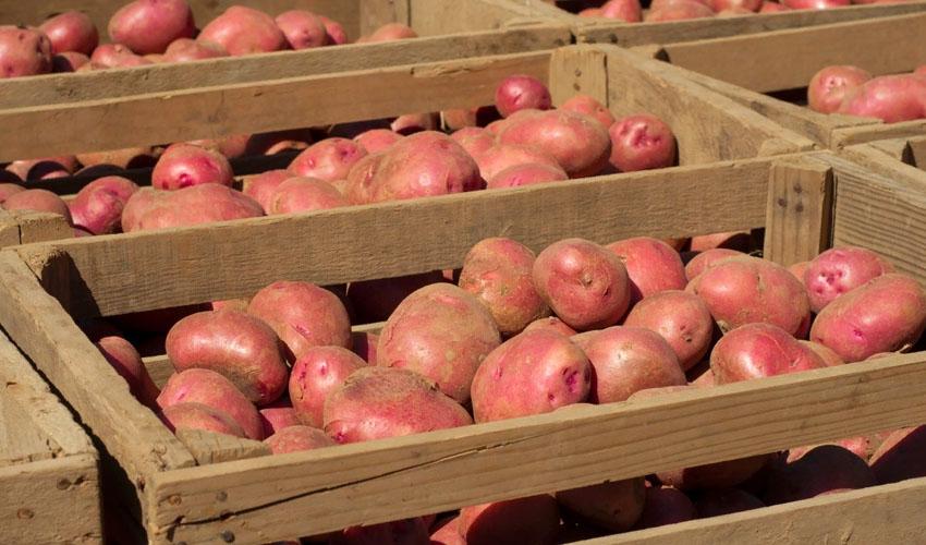 картофель в ящиках