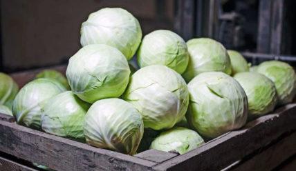 Срок и условия хранения капусты на зиму