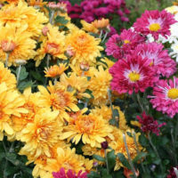 Хранение хризантем зимой в домашних условиях