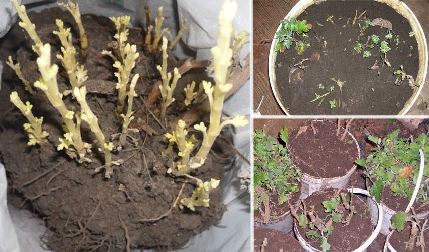 хранение корневищ хризантем