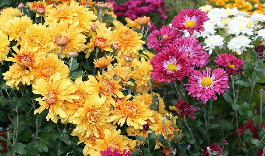 Как сохранить хризантемы зимой Нужно ли выкапывать их перед зимовкой Подготовка зимующих хризантем в открытом грунте