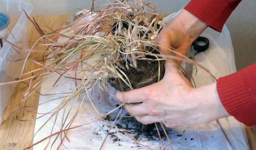 как выкапывать луковицы крокусов