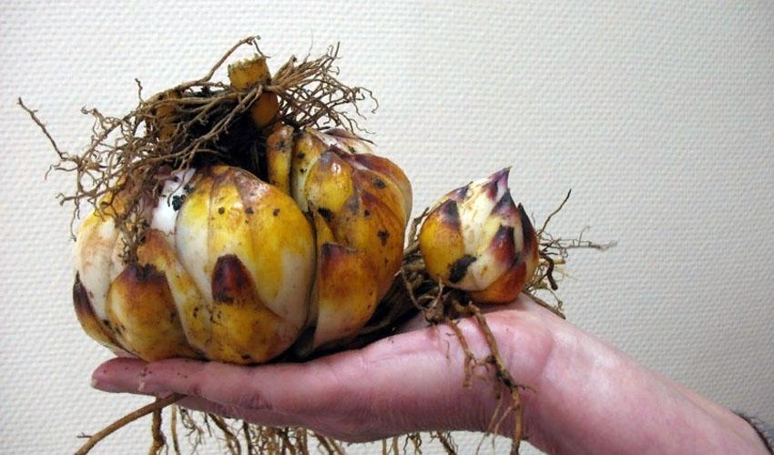 как выбрать луковицы лилий