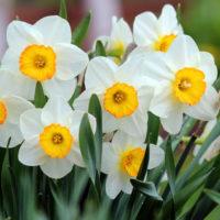 Как хранить луковицы нарциссов после цветения