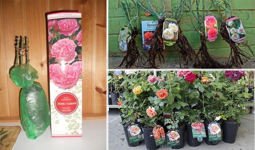 как выбрать саженцы розы