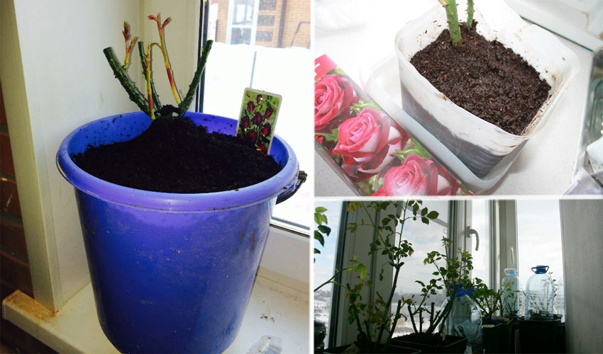 хранение саженцев роз на балконе