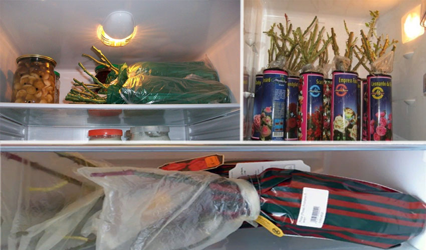 хранение саженцев роз в холодильнике