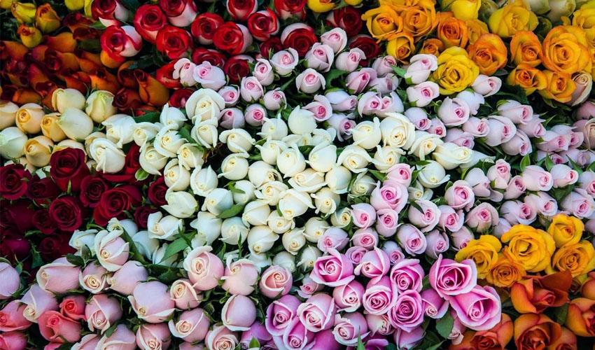 выбрать свежую розу
