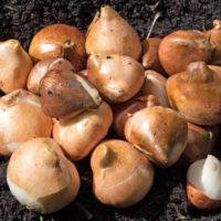 Условия хранения луковиц тюльпанов после выкопки