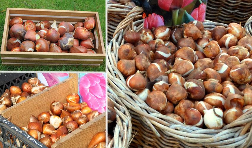 в чем хранить луковицы тюльпанов