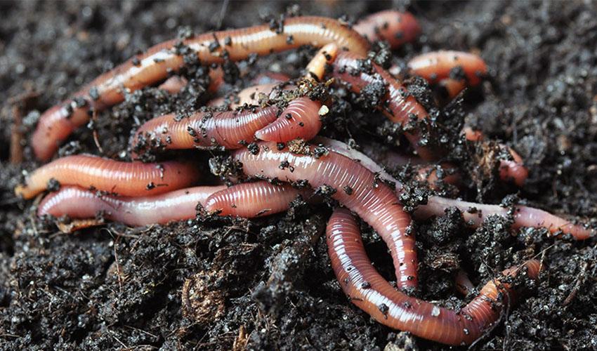 дождеввые черви