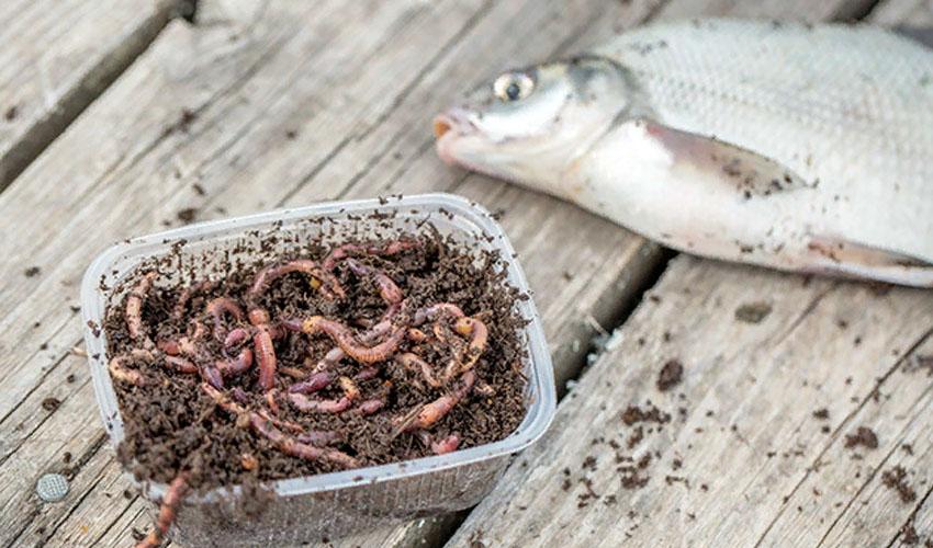 хранение червей на рыбалке