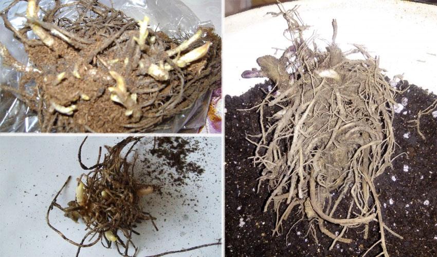 как хранить корень флокса