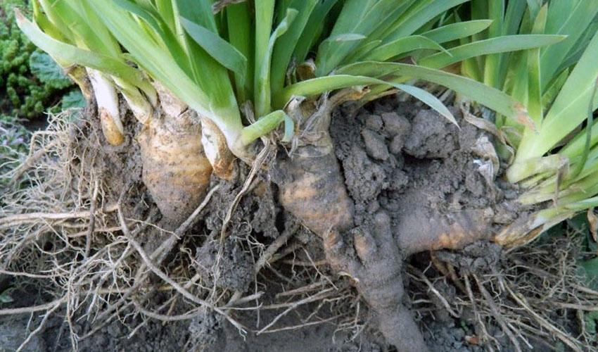 как хранить корни ириса