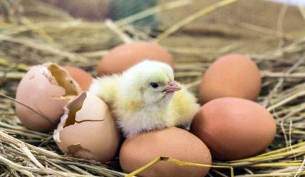 Условия и сроки хранения яиц для инкубации