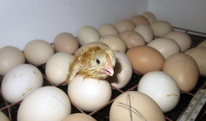 условия хранения инкубационных яиц