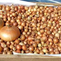 Условия хранения лука севка до посадки весной