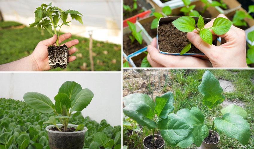 как сохранить рассаду