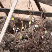 Хранение саженцев деревьев до высадки