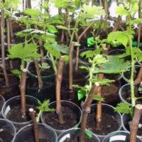 Хранение черенков винограда зимой и проращивание весной