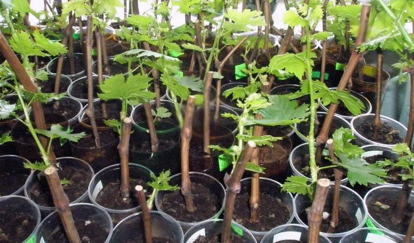 Хранение черенков винограда зимой в подвале
